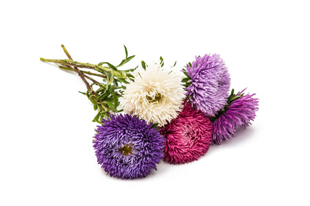 asters flower isolated on white background