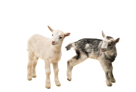 spotted fur: small goats isolated on white background Stock Photo