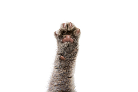 retractable: foot gray kitten on a white background Stock Photo