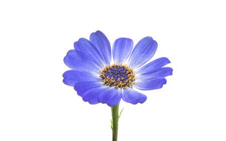 asteraceae: blue cineraria isolated on white background Stock Photo