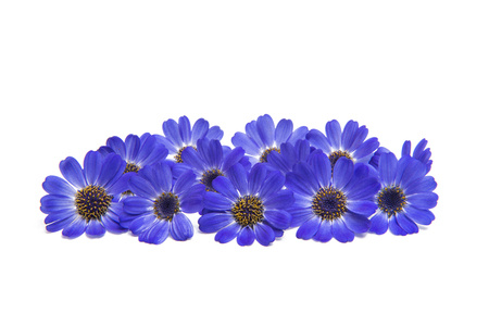 blue cineraria isolated on white background Stock Photo