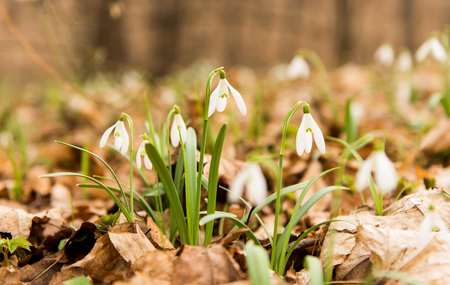 First flowers snowdrops in the spring forest Stock Photo
