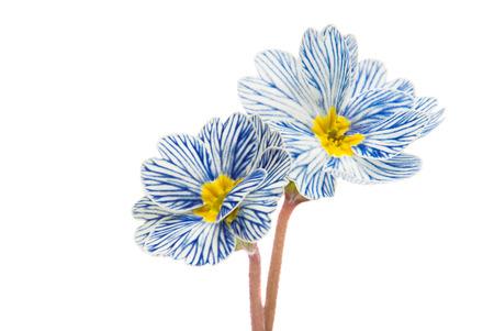 ollas de barro: flor de la primavera aislados sobre fondo blanco