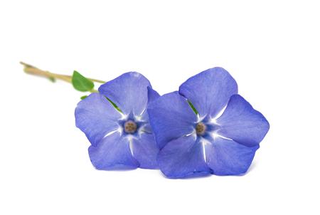 Periwinkle flower isolated on white background Stock Photo