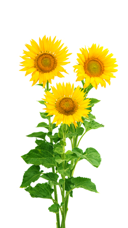 Sunflower flowers isolated on white background