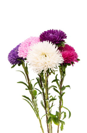 contrast floral: Aster flower isolated on white background