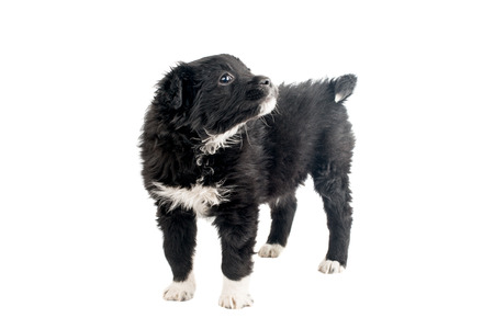 Black puppy isolated on white background
