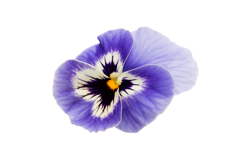 Pansies isolated on white background Фото со стока