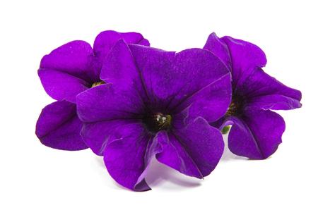 Lilac petunia on a white background Stock Photo