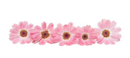 asteraceae: cineraria isolated on white background Stock Photo