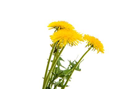 Dandelion flower on a white background Imagens