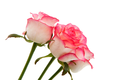 Pink rose on a white background Stock Photo