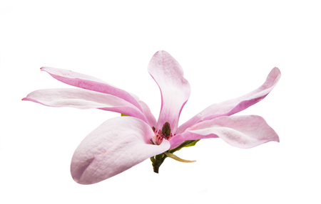 흰색 배경에 목련 꽃