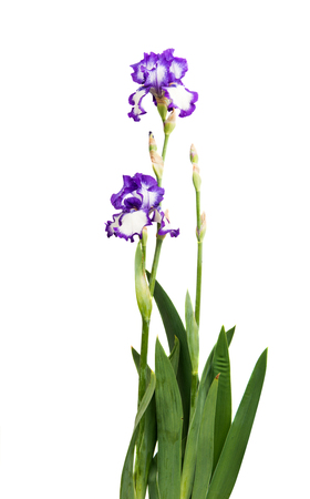 Iris flower on white background