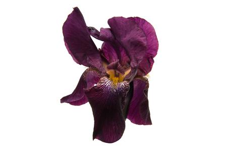 iris isolated on white background