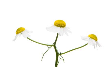 marguerite: Medical daisy isolated on white background