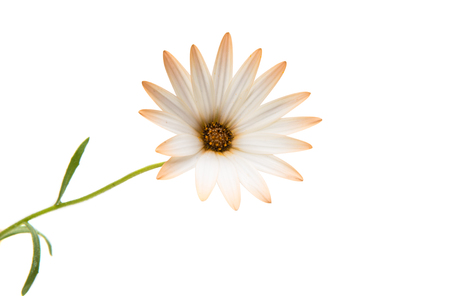 Cape daisies isolated on white background Stock Photo