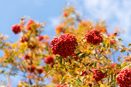 Clusters of red ashberry on a tree in autumn