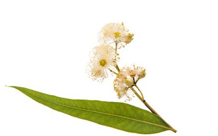Eucalyptus isolated on white background