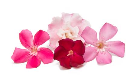 Fleur de laurier-rose isolé sur fond blanc Banque d'images - 80792618