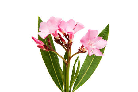 Oleander flower isolated on white background