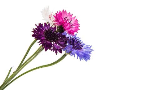 Beautiful cornflower isolated on white background Stock Photo