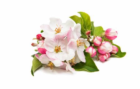 Flor de manzana sobre un fondo blanco Foto de archivo - 81070415