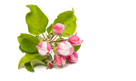 crab apple tree: apple flower on a white background