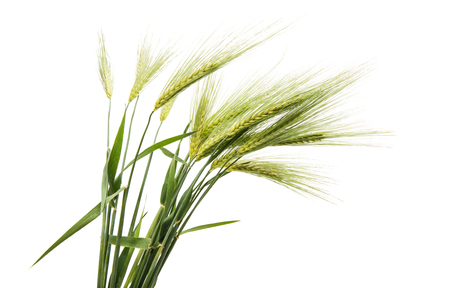 Green ears of wheat on white background Stockfoto