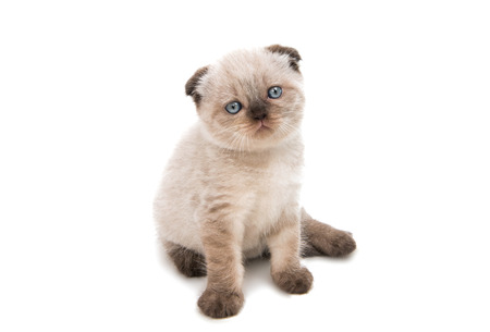lop eared: Lop-eared kitten isolated on white background