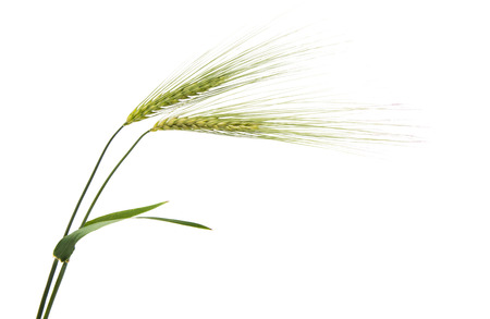 Green ears of wheat on white background Stock Photo