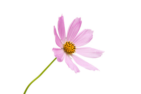 claret: Pink cosmea on a white background Stock Photo