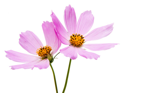 Pink cosmea on a white background Stock Photo