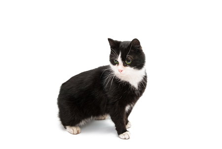 sweetie: Black & white cat on white isolated background.