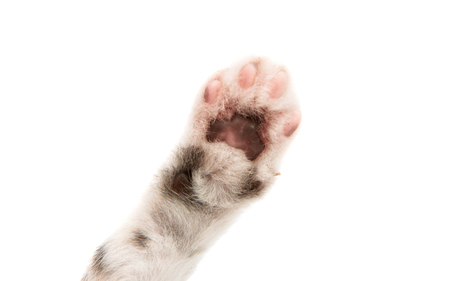 Small fluffy kitten paw isolated on white background