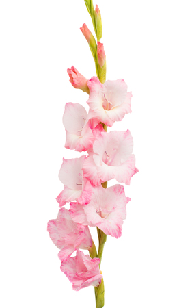 Beautiful gladiolus flower on white background