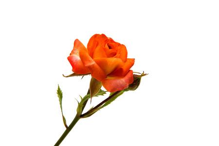 Orange rose isolated on white background Stock Photo
