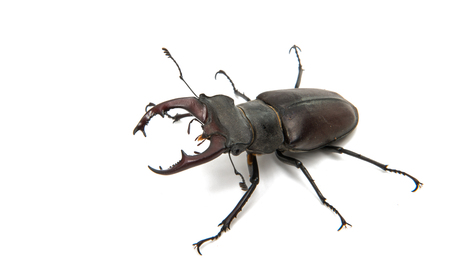 Beetle stag isolated on white background Stock Photo