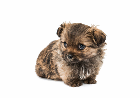 Beautiful little pekinese isolated on white background Stock Photo
