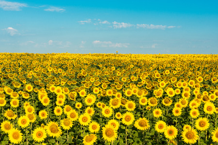Blooming sunflower field against the blue sky