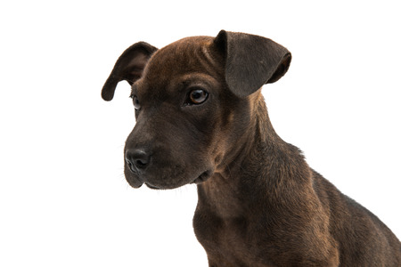 Brown dog terrier on white background Stock Photo