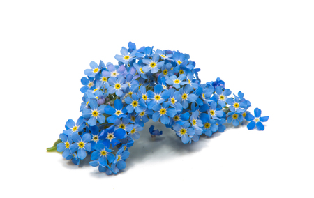 Flowers of forget-me-nots on white background Stock Photo