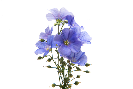 Flax flowers isolated on white background Reklamní fotografie