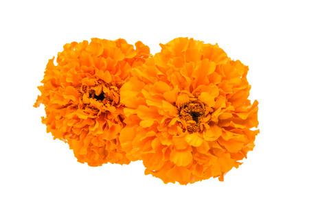 흰색 배경에 고립 된 아름 다운 오렌지 메리 골드 꽃