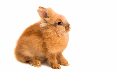 beautiful red-haired rabbit sitting isolated on white background