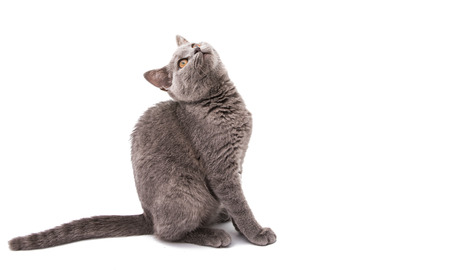 domestic: British gray kitten isolated on white background