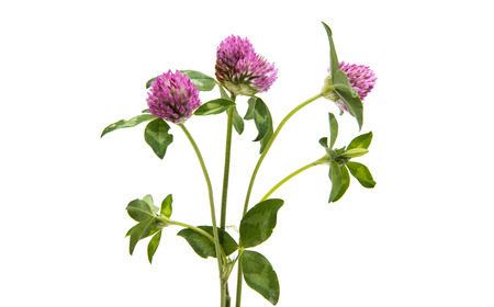 trifolium: Red Clover (Trifolium pratense) isolated on white background.