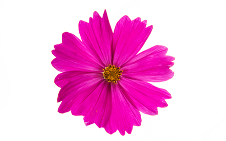 asteraceae: Cosmos flower isolated on white background. Stock Photo