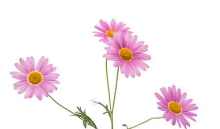 Lilac daisy isolated on white background Stock Photo