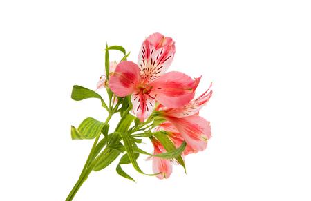 Pink alstroemeria on a white background
